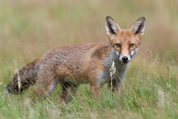 red fox (vulpes vulpes) - mammal stock photos and pictures