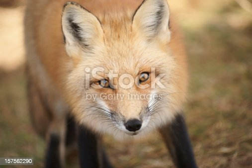 Close up view of an alert red fox. This wild fox is one of many on Prince Edward Island, Canada.