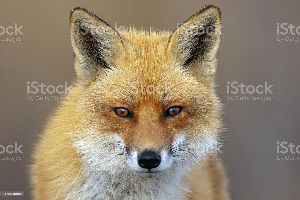 Vermelha Fox - foto de acervo