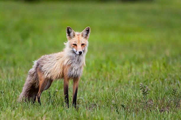 red fox - jake*s stock-fotos und bilder