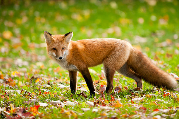 volpe rossa - volpe foto e immagini stock