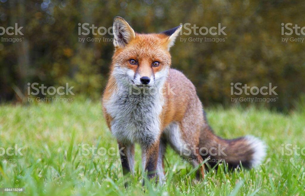 Red Fox - Lizenzfrei Auge Stock-Foto