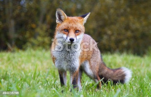 Red Fox looking directly at camera