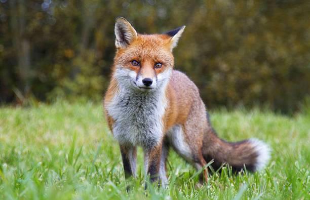 rojo fox - zorro fotografías e imágenes de stock