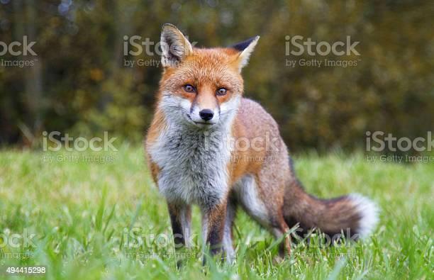Red Fox Stockfoto und mehr Bilder von Auge