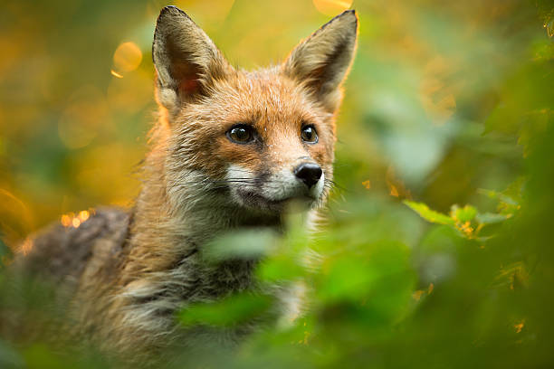 red fox - forest animals stock photos and pictures