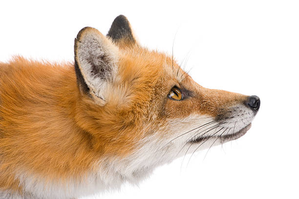 red fox (4 years) - fox stock photos and pictures