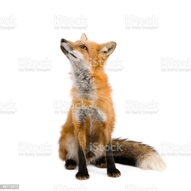 Photo of Red fox (4 years)