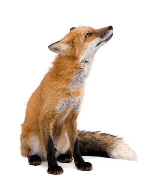 Red fox (4 years) stock photo