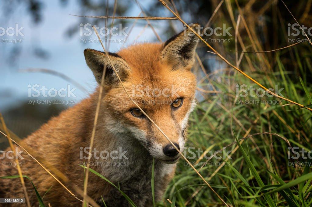Lis Czerwony (Vulpes vulpes) - Zbiór zdjęć royalty-free (Bez ludzi)