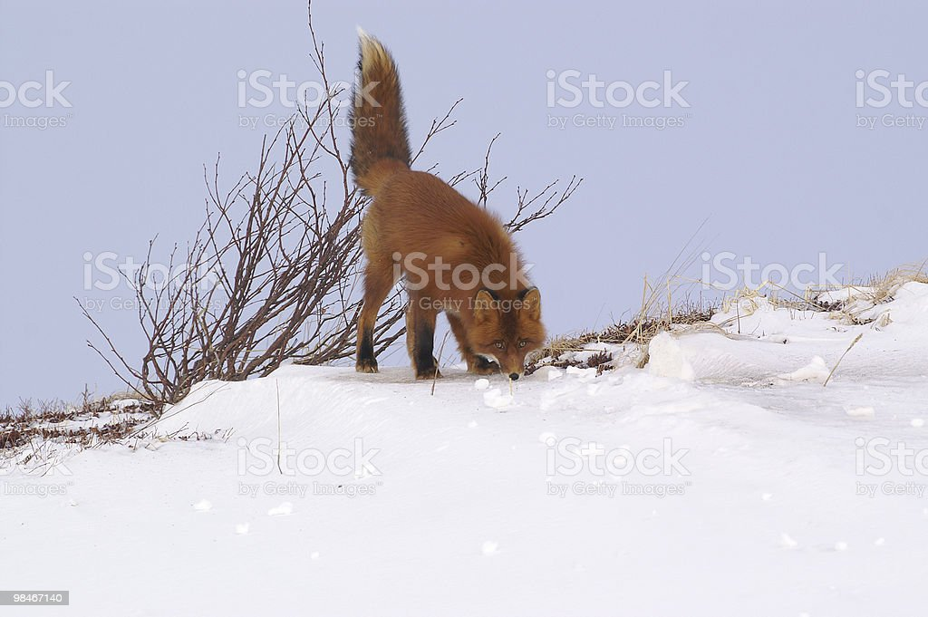 Red fox. royalty-free stock photo