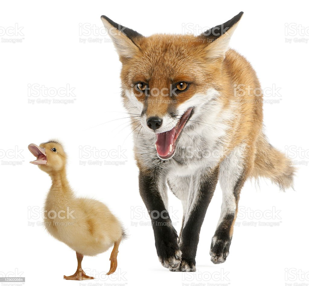 Red Fox, playing with a domestic duckling, white background. royalty-free stock photo