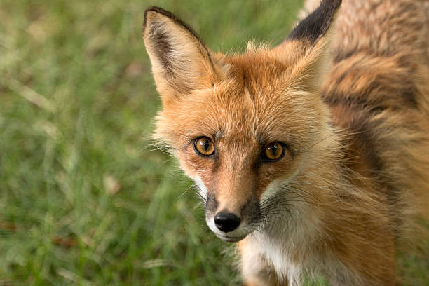 Eye to eye, a wild red fox looks quickly around her shaded, suburban, surroundings in Denver, Colorado.