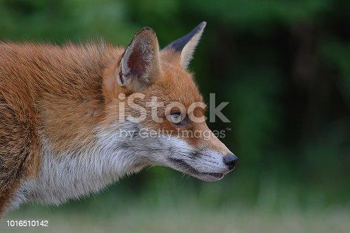 Red Fox Portrait  Please view my portfolio for other wildlife photos.