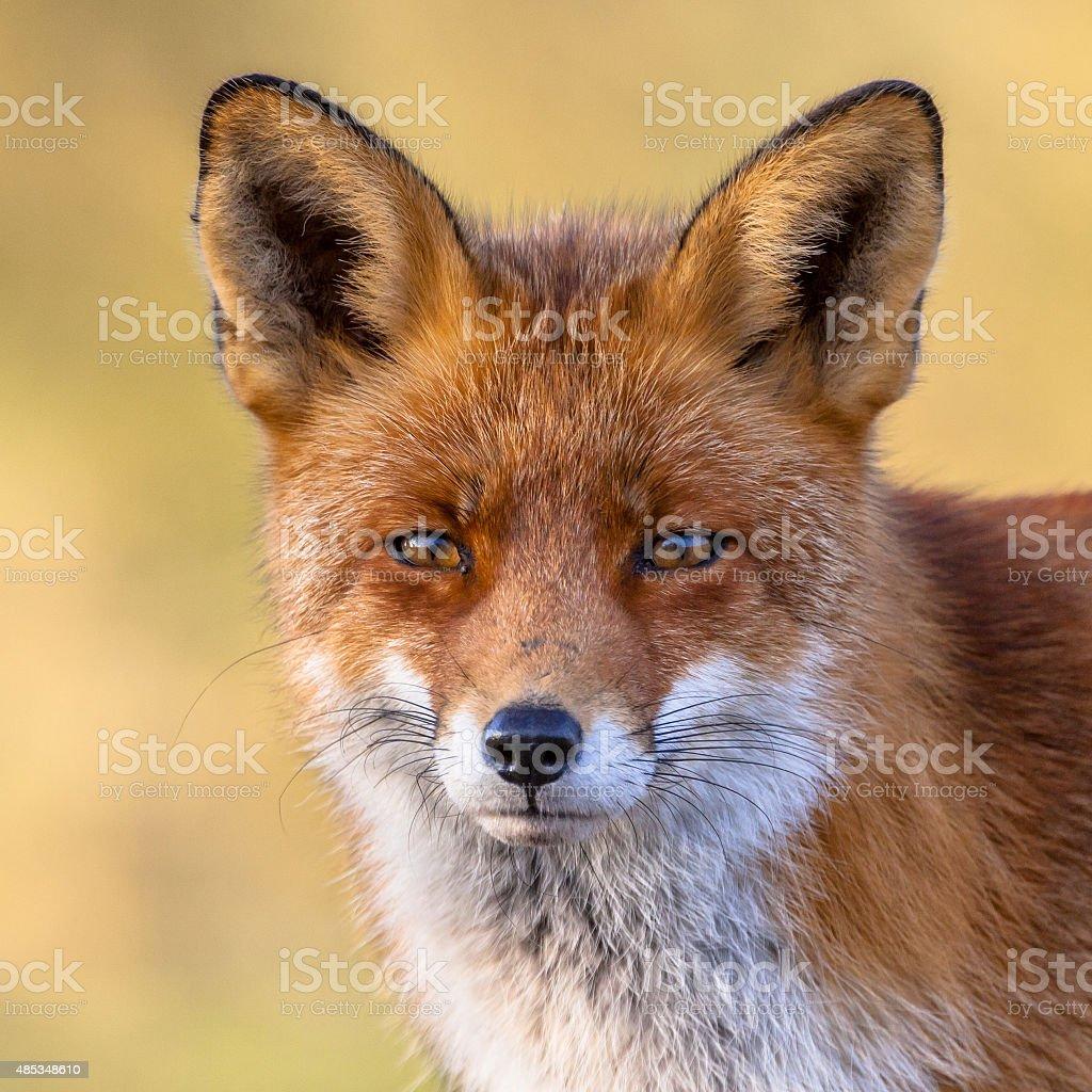 Red fox Retrato - foto de acervo