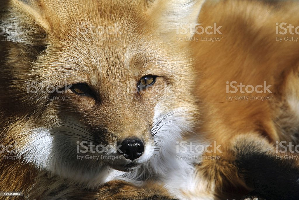 Red Fox Portrait royalty-free stock photo