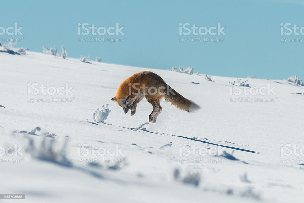 Red fox pouncing on prey in Yellowstone National Park, Wyoming stock photo