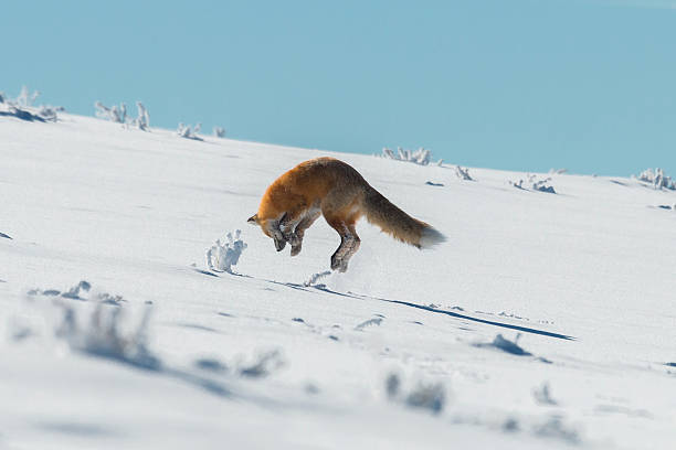 red fox pouncing on prey in yellowstone national park, wyoming - attaquant photos et images de collection