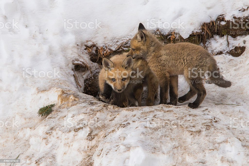 Red fox pups royalty-free stock photo