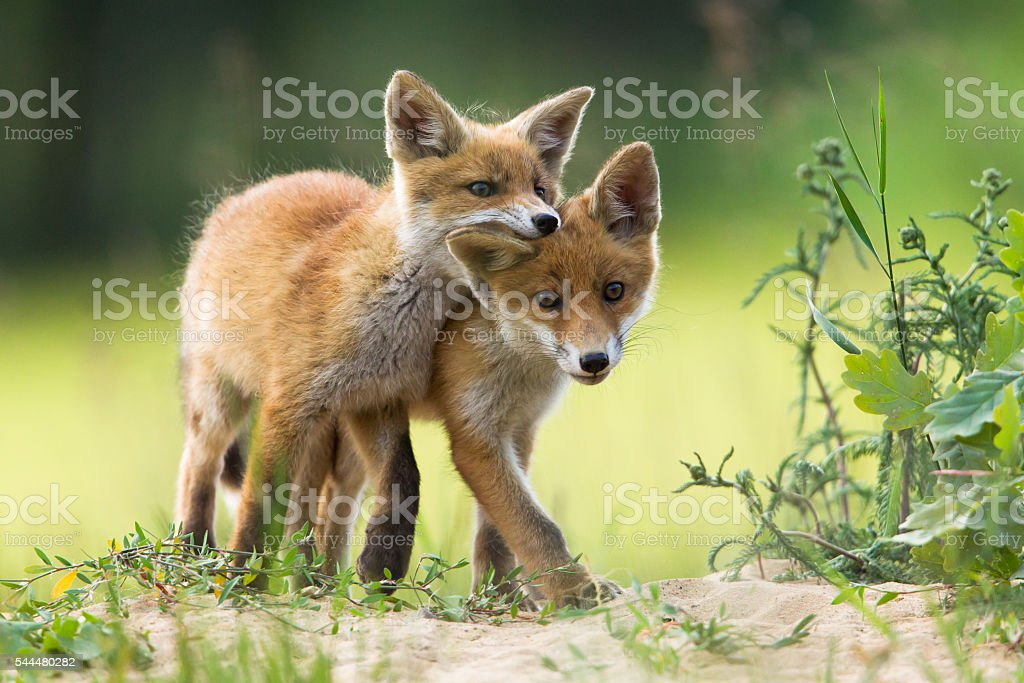 Red fox pups stock photo