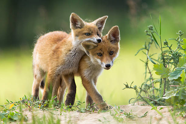 red fox chiots - jeune animal photos et images de collection