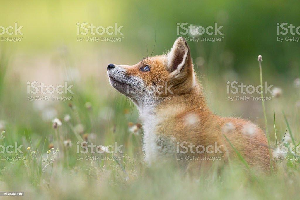 Red fox Hunde – Foto