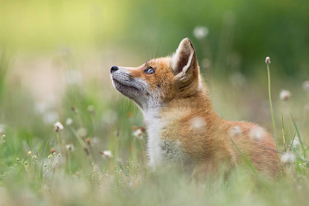 red fox pups - fox stock photos and pictures