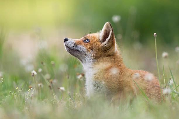 volpe rossa cuccioli - volpe foto e immagini stock