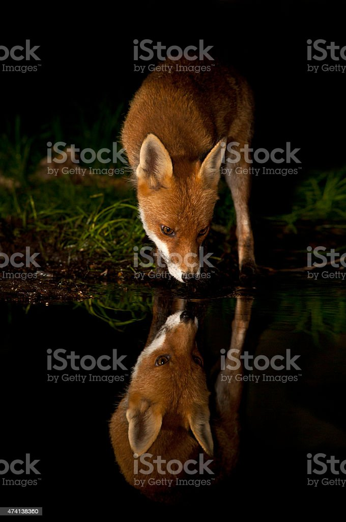 Red fox reflection - Vulpes vulpes stock photo