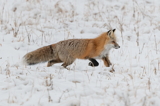 Red fox alert for presence of mice and voles under snow