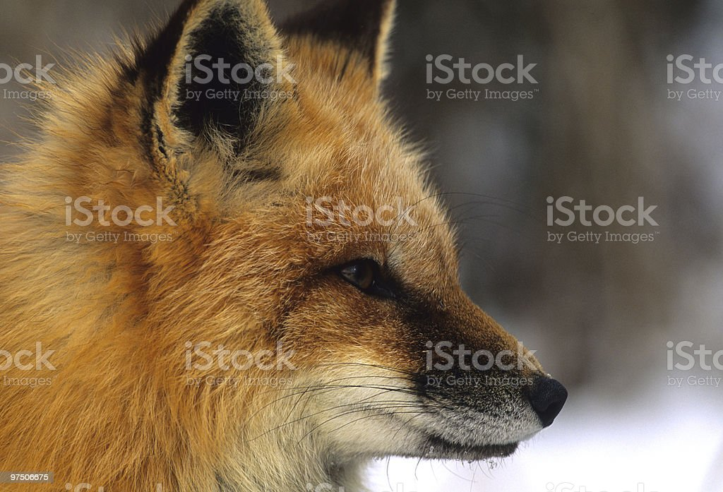 Red Fox Side Portrait royalty-free stock photo
