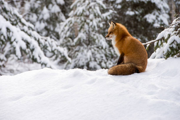 Red Fox, (Vulpes vulpes) sitting in snow stock photo