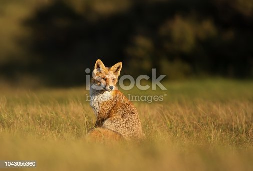 Red fox sitting in the field on a sunny day.