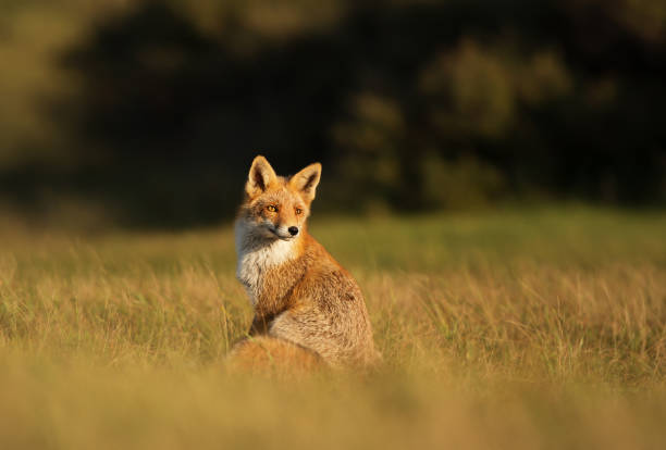 red fox sitting in the field on a sunny day - volpe foto e immagini stock