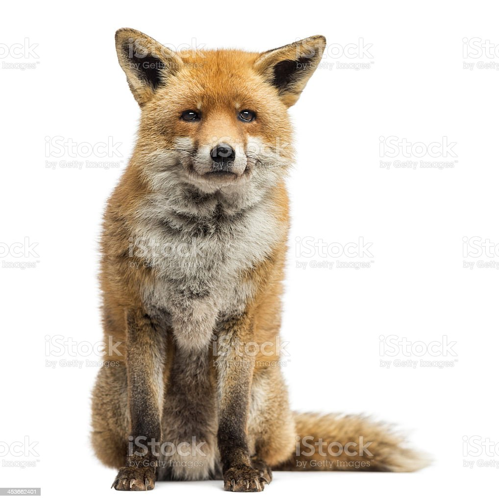 Red fox sitting, isolated on white stock photo