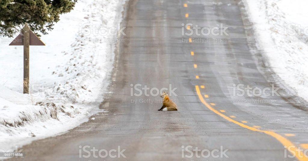 Rotfuchs sitzend auf Teerstraße mit gelb gepunktete Linie – Foto