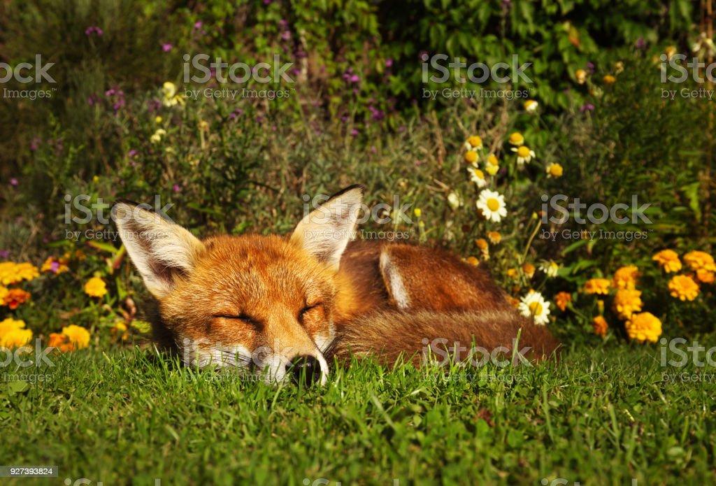 Zorro rojo duerme en el jardín con flores - foto de stock