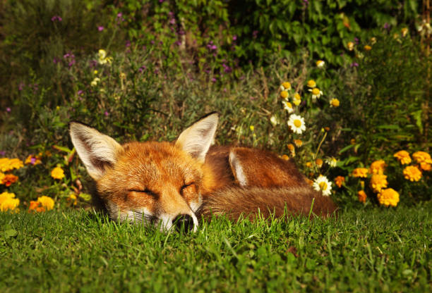 Red fox sleeping in the garden with flowers stock photo