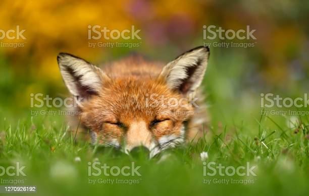 Photo of Red fox sleeping on grass in a garden