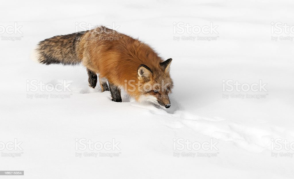 Red Fox Stalks Through the Snow stock photo