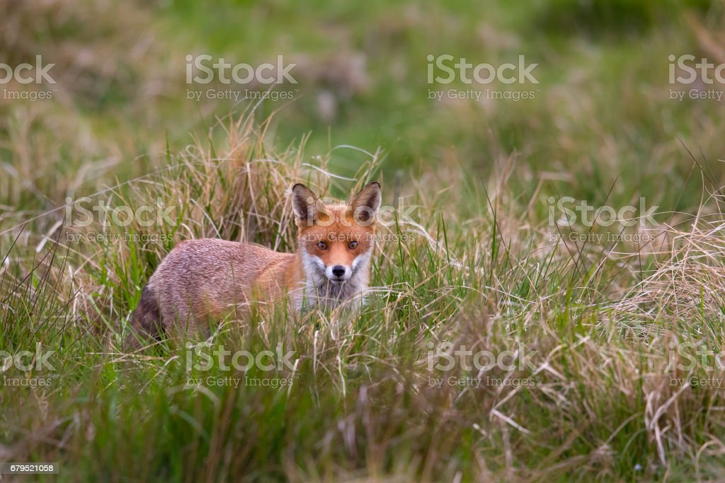 Red Fox standing in grassland royalty-free stock photo