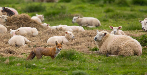red fox standing in pasture in front of a flock of sheep - carnivora stock photos and pictures