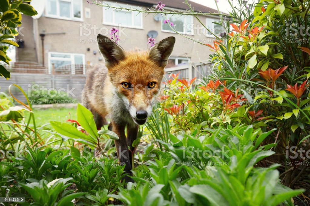 Red fox standing in the garden with flowers near the house stock photo