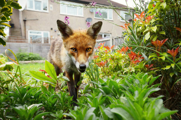 red fox standing in the garden with flowers near the house - fox stock photos and pictures