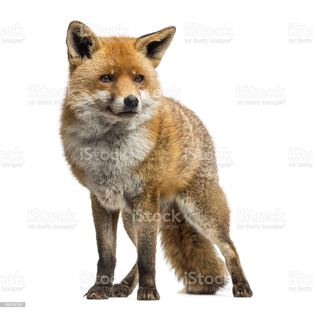 Red fox em pé, Isolado no branco - foto de acervo