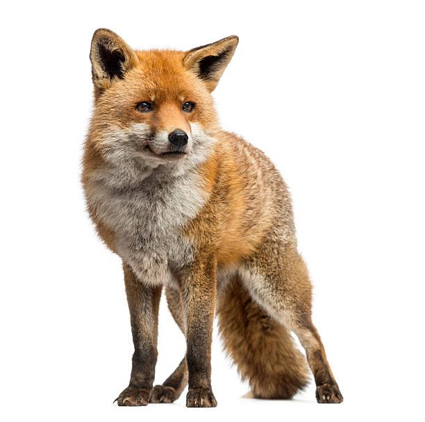 zorro rojo, aislado en blanco de pie - zorro fotografías e imágenes de stock