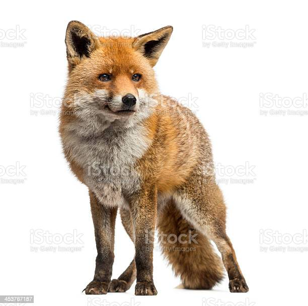 Photo of Red fox standing, isolated on white