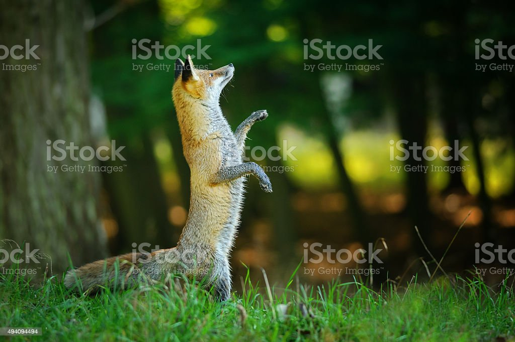 Red fox standing on hind legs in forest stock photo