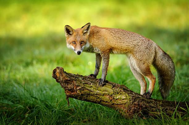 Red fox stehend auf tree trunk – Foto