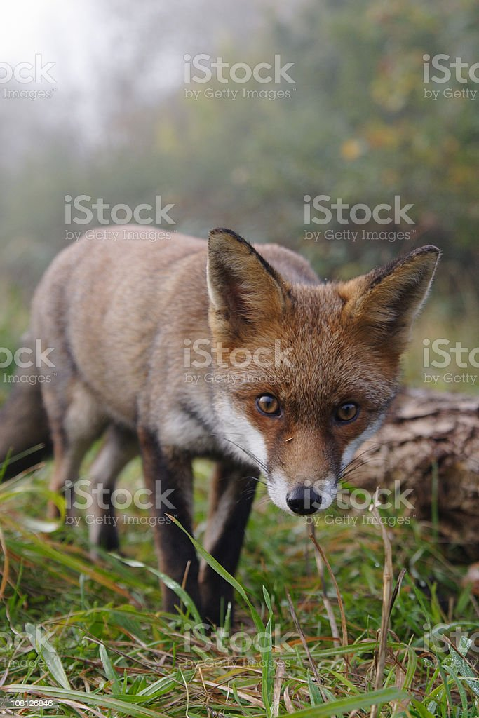 Red Fox Staring Straight Ahead royalty-free stock photo